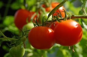 RSE exemple, tomates